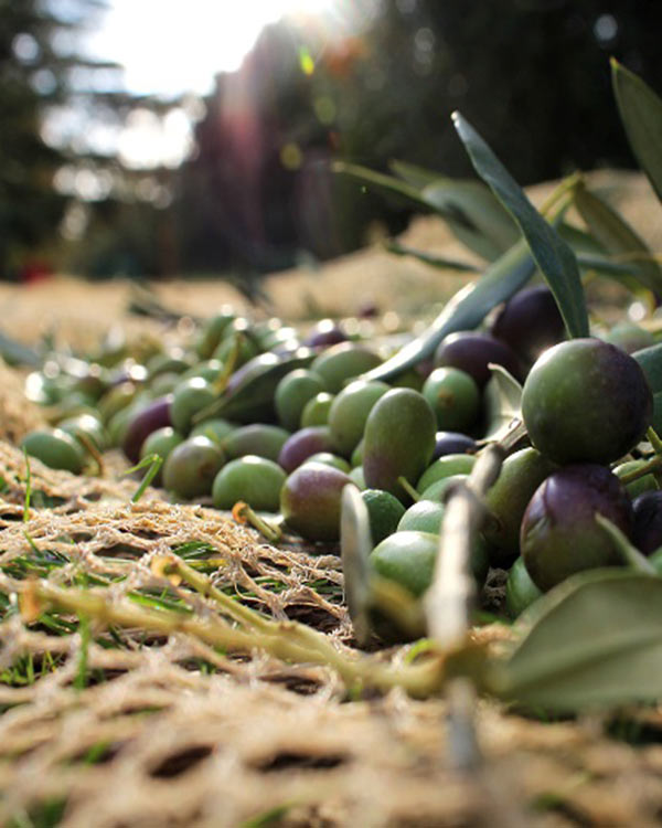 Olive Harvesting Method