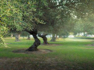 Olive Tree Characteristics And Facts Oil Corfu
