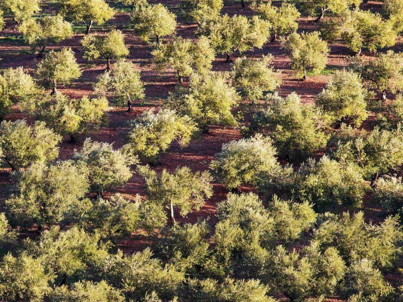 Olive tree characteristics & facts 3
