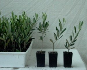 Propagating An Olive Tree From Cuttings