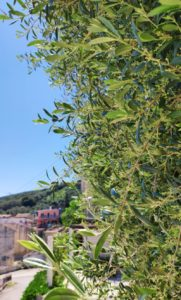 THE FLOWERS OF THE OLIVE TREE